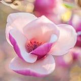 Belles fleurs de magnolia Photographie stock libre de droits