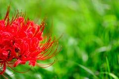 Belles fleurs de manjusaka Photo libre de droits