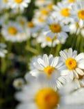 Belles fleurs de marguerite Image libre de droits