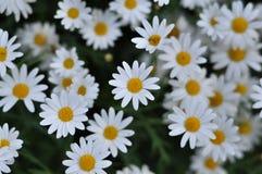 Belles fleurs de marguerite Photos libres de droits