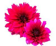 Belles fleurs de marguerite d'isolement sur le fond blanc Photo stock