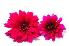 Belles fleurs de marguerite d'isolement sur le fond blanc Image stock