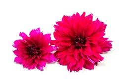 Belles fleurs de marguerite d'isolement sur le fond blanc Photo libre de droits
