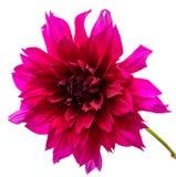 Belles fleurs de marguerite d'isolement sur le fond blanc Photographie stock