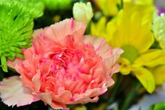 Belles fleurs de marguerite en été Image stock