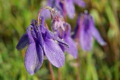 Belles fleurs de montagne Flora des gammes de montagne Photo stock