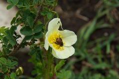 Belles fleurs de montagne Flora des gammes de montagne Images stock