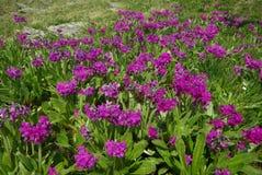 Belles fleurs de montagne Flora des gammes de montagne Photos stock