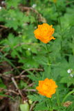 Belles fleurs de montagne Flora des gammes de montagne Image stock