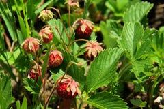 Belles fleurs de montagne Flora des gammes de montagne Images libres de droits