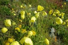 Belles fleurs de montagne Flora des gammes de montagne Photo libre de droits