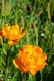 Belles fleurs de montagne Flora des gammes de montagne Photographie stock