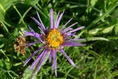 Belles fleurs de montagne Flora des gammes de montagne Photos libres de droits