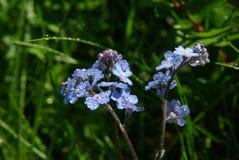 Belles fleurs de montagne Flora des gammes de montagne Photographie stock libre de droits