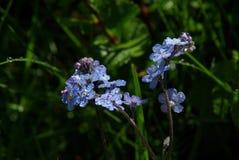 Belles fleurs de montagne Flora des gammes de montagne Image libre de droits