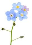 Belles fleurs de myosotis des marais (Myosotis) Images stock
