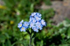 Belles fleurs de Myosotis en nature image stock