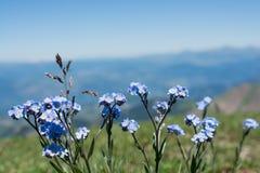 Belles fleurs de Myosotis en nature photos stock