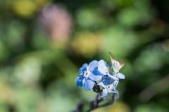 Belles fleurs de Myosotis en nature image libre de droits