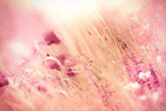 Belles fleurs de pavot Photos stock