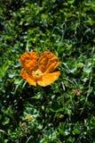 Belles fleurs de pavot oriental en nature images libres de droits