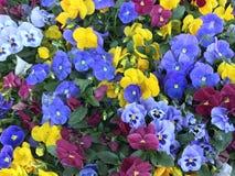 Belles fleurs de pensée dans le jardin Photos stock