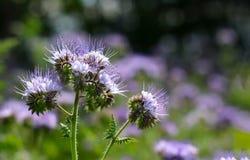 Belles fleurs de phacelia en fleur photo libre de droits