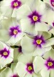 Belles fleurs de phlox en pleine floraison image libre de droits