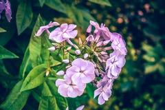Belles fleurs de phlox Scène de nature avec les fleurs de floraison de jardin Photo libre de droits