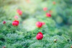 Belles fleurs de pivoine alpine dans le jardin Fond floral Foyer sélectif image libre de droits