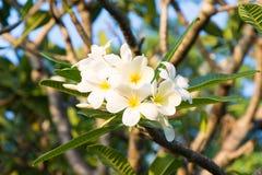 Belles fleurs de plumeria Photo stock
