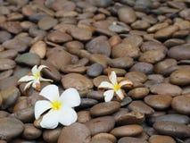 Belles fleurs de plumeria Images stock