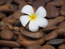 Belles fleurs de plumeria Image libre de droits