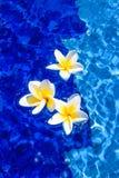 Belles fleurs de Plumeria dans l'eau bleue Images libres de droits