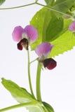 Belles fleurs de pois Photo libre de droits