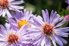 Belles fleurs de pourpre de pré Photographie stock libre de droits