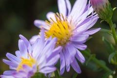 Belles fleurs de pourpre de pré Photos libres de droits