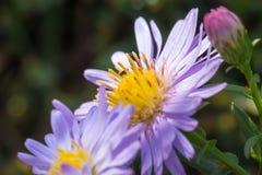 Belles fleurs de pourpre de pré Image libre de droits