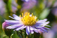 Belles fleurs de pourpre de pré Images libres de droits