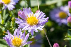 Belles fleurs de pourpre de pré Image stock