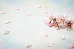 Belles fleurs de ressort au fond rose Copiez l'espace Photos libres de droits