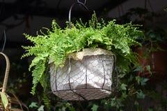 Belles fleurs de ressort dans le pot de fleurs Photos libres de droits
