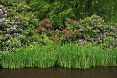 Belles fleurs de rhododendron Photos stock
