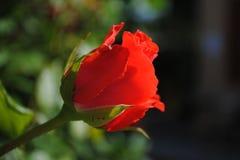 Belles fleurs de rose de rouge dans le jardin Photo libre de droits