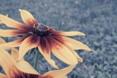 Belles fleurs de Rudbeckia, haut étroit de coneflower images stock
