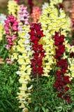 Belles fleurs de snapdragon Photographie stock libre de droits