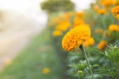 Belles fleurs de souci au bord de la route Images stock