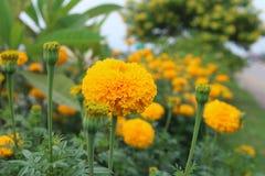 Belles fleurs de souci dans le jardin Photo libre de droits