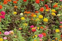 Belles fleurs de Zinnia en nature photo stock