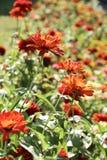 Belles fleurs de Zinnia en nature image stock